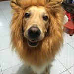 LionBuff-Lion-Mane-Costume-for-Dog-LionBuff-Dog-Wig-for-Holloween-Christmas-Party-Purchase-This-Item-Get-Your-Little-Lion-0-6