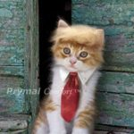 Prymal-Trump-Cat-Costume-for-Halloween-Festival-and-Parties-0-1