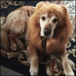 Zamango-Halloween-Lion-Mane-Costume-Lion-Mane-Wig-Large-Dog-Costumes-0-0